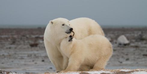 Playful Polar bears