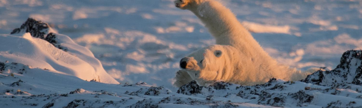 Polar bear yawn