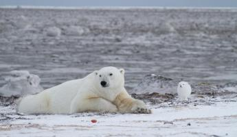 Polar bear and Arctic fox