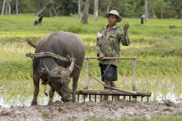 Cambodian farmer plowing with a water buffalo