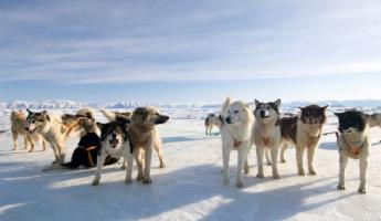 Arctic Activities - Dog Sledding
