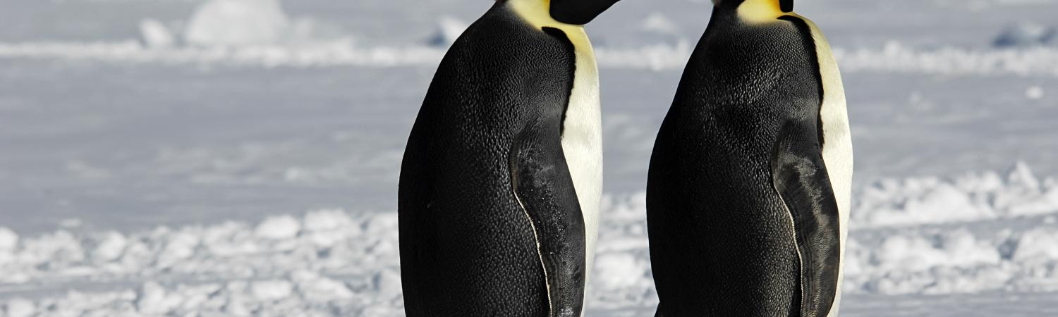 Penguins at Christmas