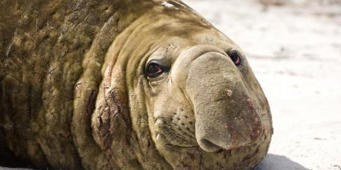 Elephant seal close up