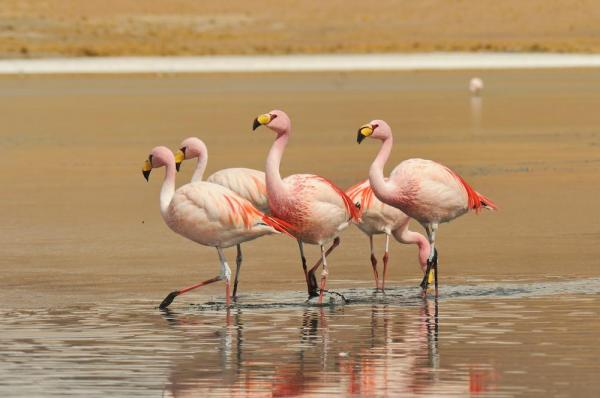 Flamingos in Bolivia's Salt Flats