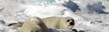 Two baby harp seals