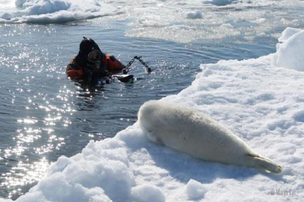 Baby Harp Seal with Diver
