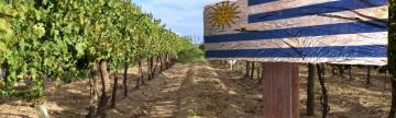 Vineyard in Uruguay
