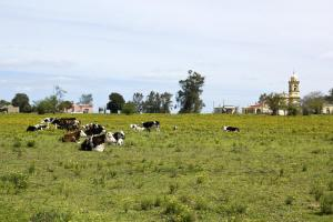 Cattle resting at an estancia