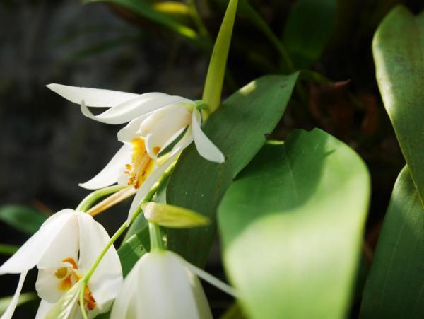 One of Kinabalu National Park's 1,000 orchid species, Coelogyne sp.