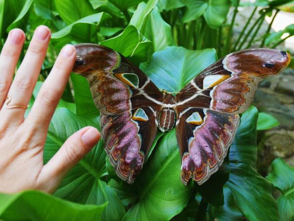 The world's largest moth, Atlas atticus