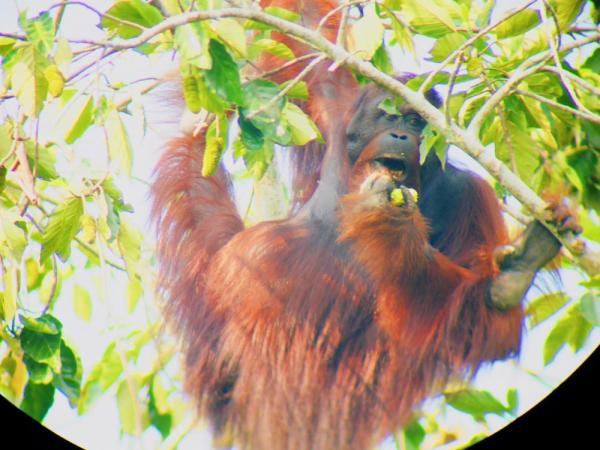 An orangutan enjoy's his breakfast above the Sukau Rainforest Lodge in Borneo