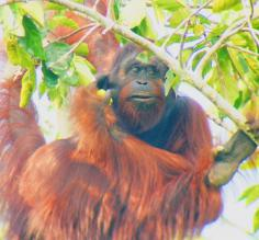 An orangutan enjoys his breakfast above the Sukau Rainforest Lodge in Borneo