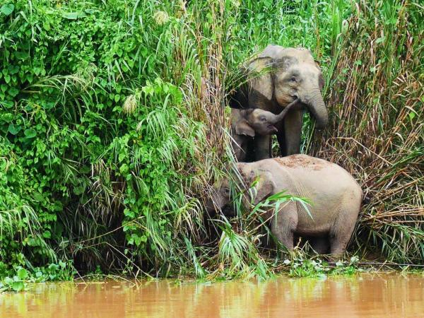 Bornean pygmy elephants looking cute by the river