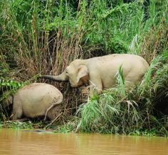 My first sighting of Bornean pygmy elephants!