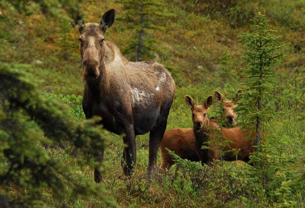 Moose at Camp Denali & North Face Lodge. Photo Courtesy of Camp Denali & North Face Lodge