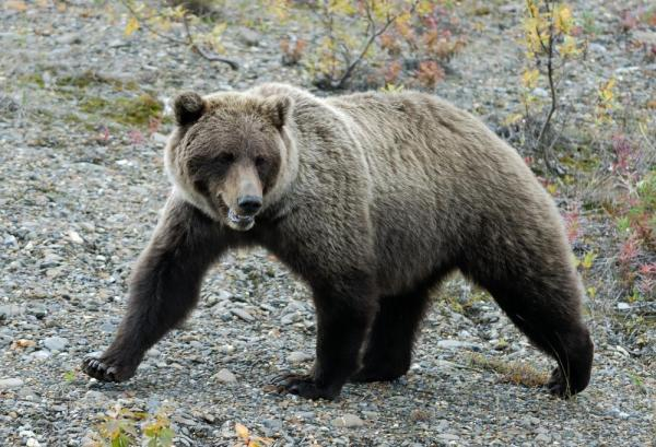 Grizzly bear at Camp Denali & North Face Lodge