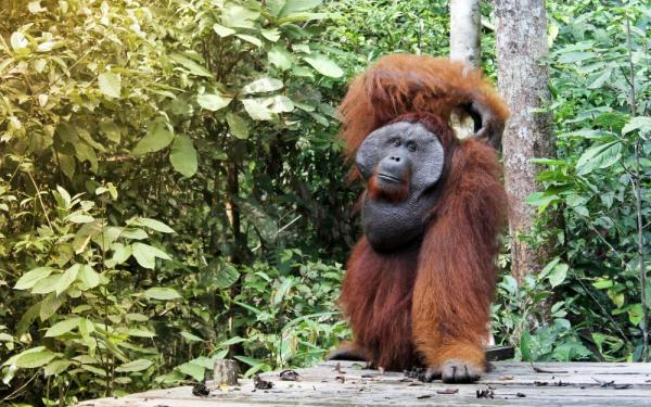 Orangutan walking through the jungle