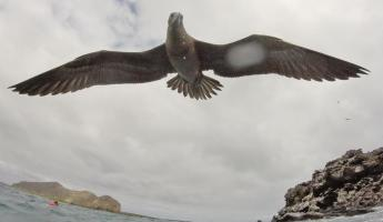 Immature red-footed booby trying to land on my head!