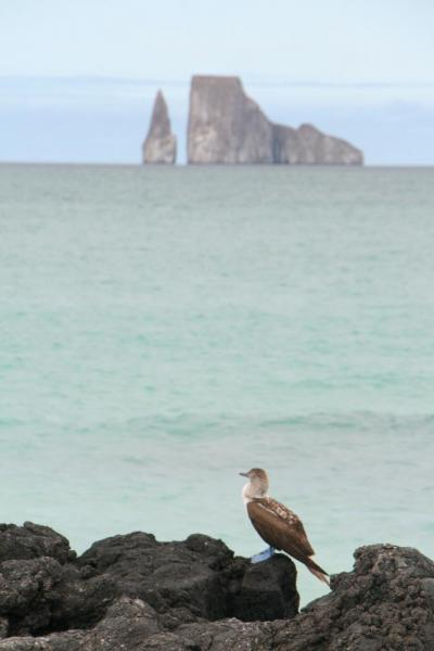 Blue-footed booby and Kicker Rock