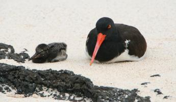 American Oyster-catcher and chick
