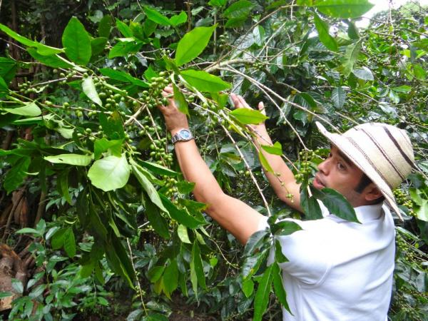Plinio describes the different types of coffee plants