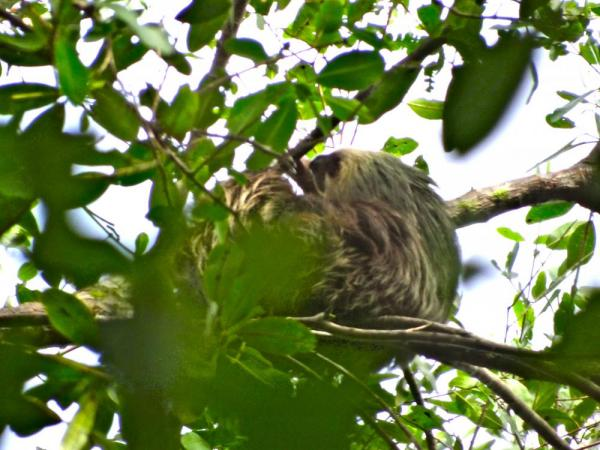 the elusive two-toed sloth!