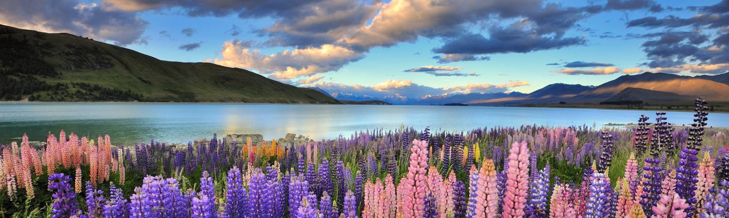 Lupines on the shore of Lake Tekapo