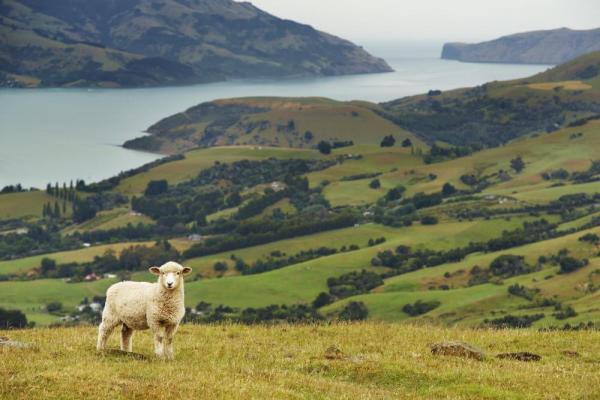 Sheep and landscape