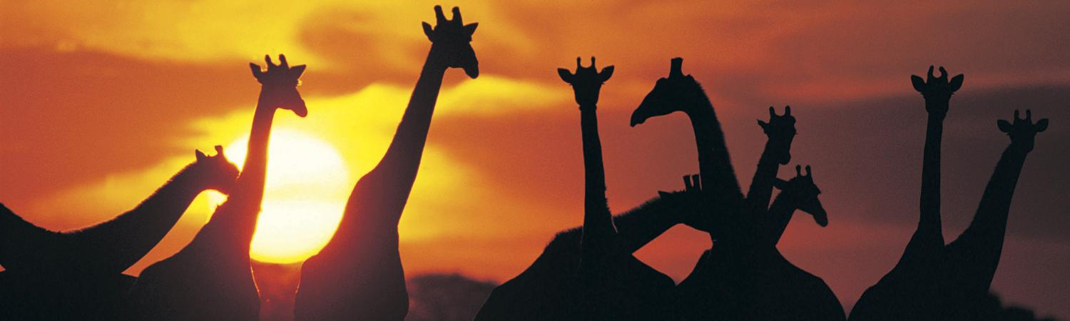 Giraffe herd silhouette against sunset