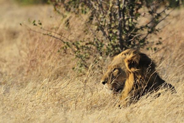 Lion in Chobe National Park