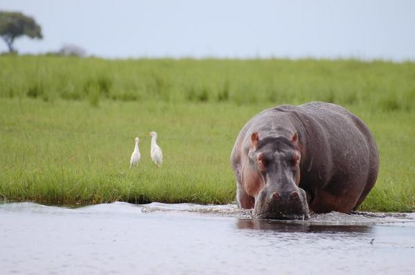 Hippo in Chobe National Park