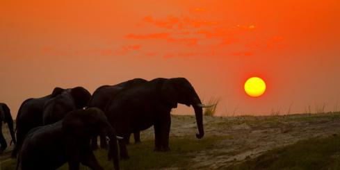 Elephant herd crossing the Chobe river at sunset
