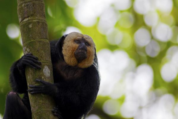 Saki Monkey in the Amazon