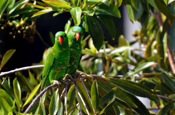 Parrots in Papua New Guinea