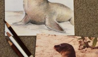 Colored pencil of a baby sea lion