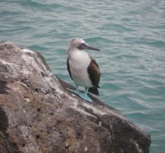 A Blue Footed Booby- I cant believe the feet are so blue!