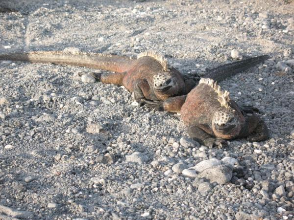 The only marine iguana- that is salt on their heads.