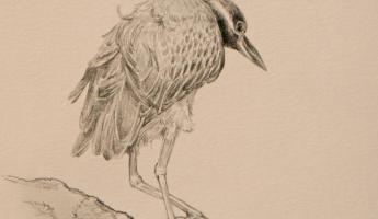 Yellow-crowned Night Heron, pencil