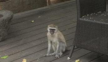 Baboon making the dining room his own