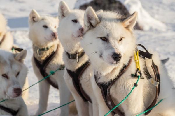 Line of alert Greenland sled dogs