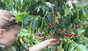 Picking Colombian coffee