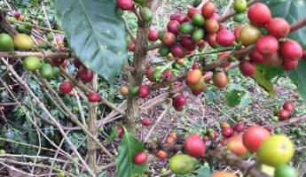 Coffee plant in Colombia