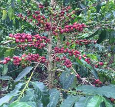 Abundant coffee plant in Colombia