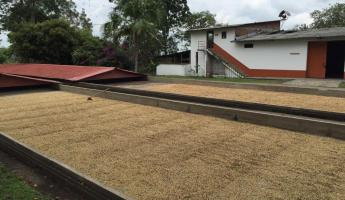 Drying out the coffee beans