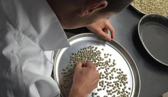 Searching through the coffee beans