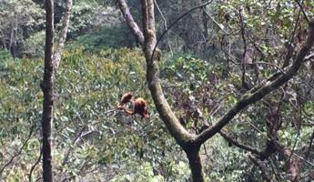 Howler monkeys in Colombia
