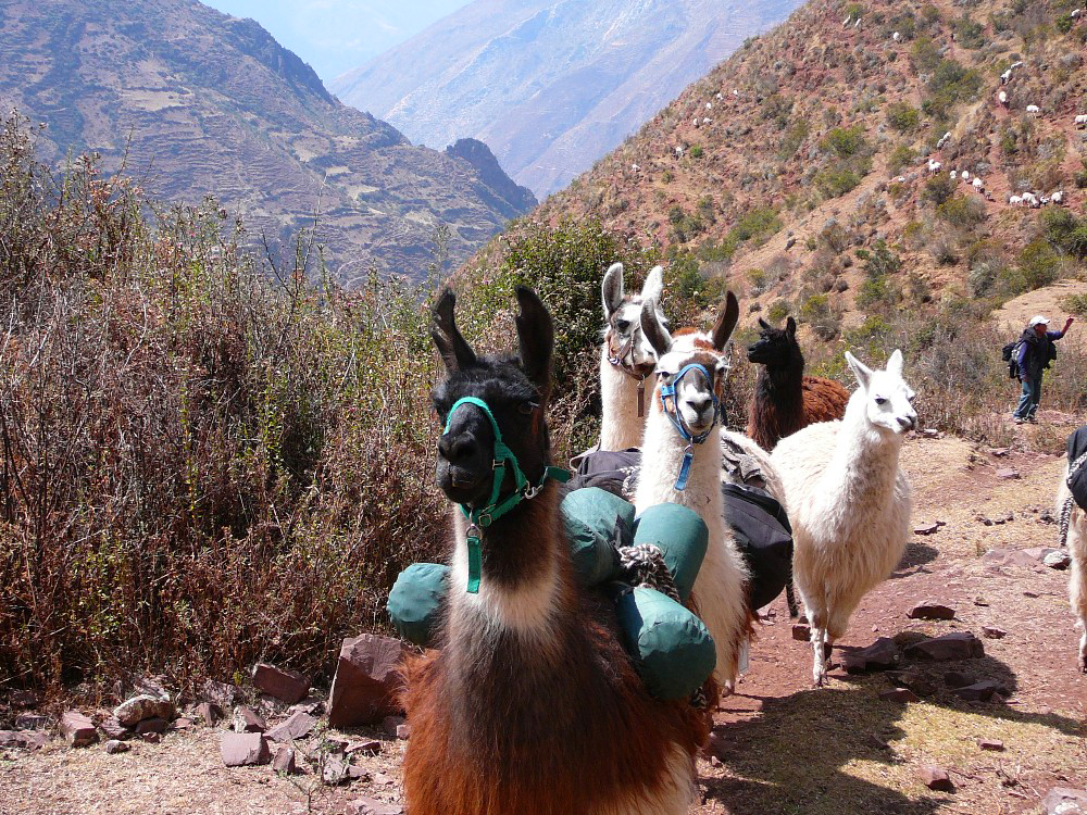 The Llama Train