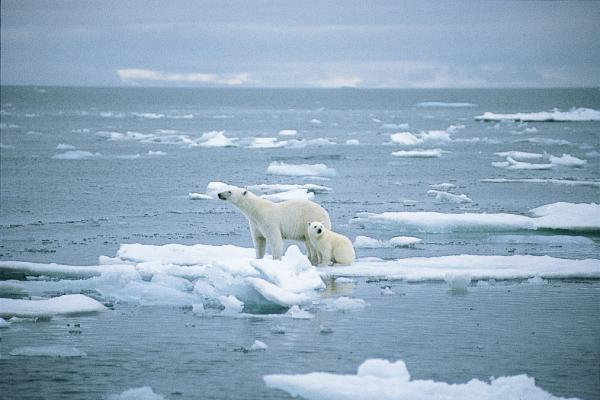 Polar Bears standing on a melting iceberg