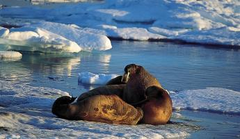 Walruses relaxing in the sun
