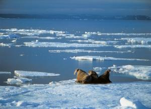 Walruses relaxing on the ice